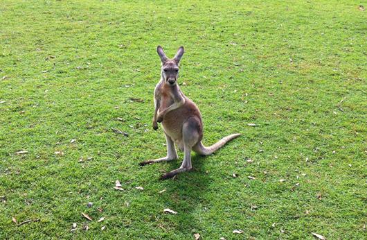 kangourou-lone-pine-koala