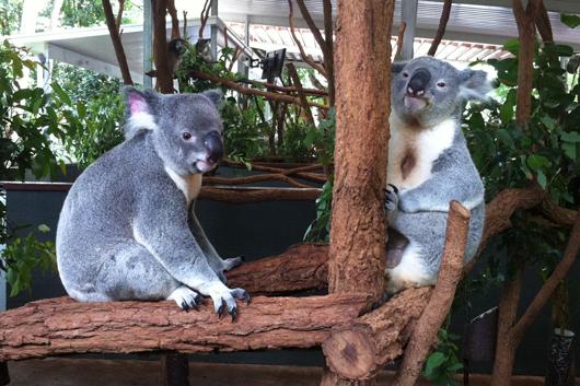 lone-pine-koalas