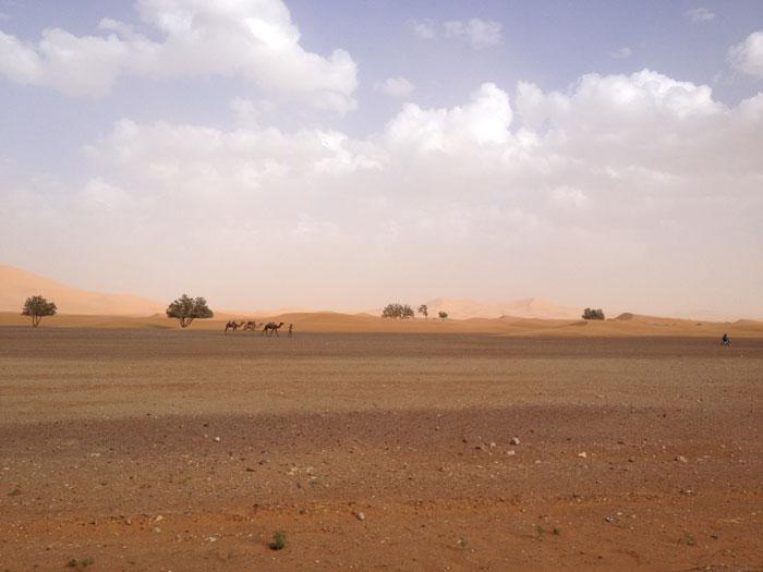 troupeau-dromadaires-maroc